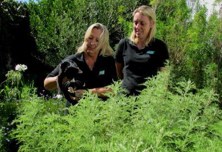 Artemisia Afra plants